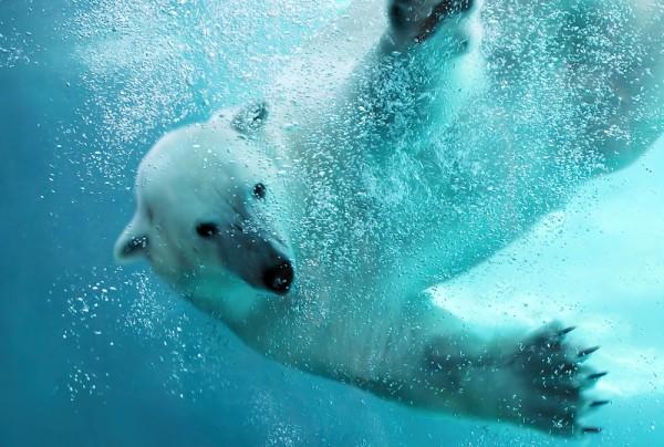 Fototapete Nr. 3894 - Icebear under water