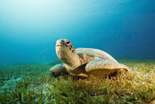 Fototapete Nr. 4442 - Turtle