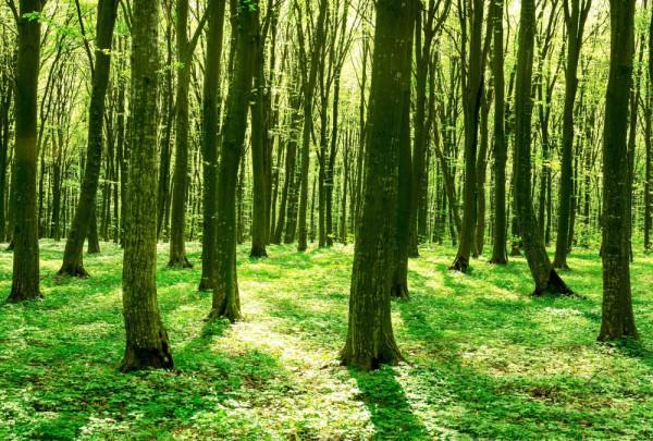 Fototapete Nr. 3567 - Spring Forest