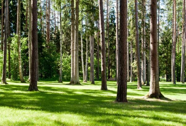 Fototapete Nr. 3675 - Sonnenwald I