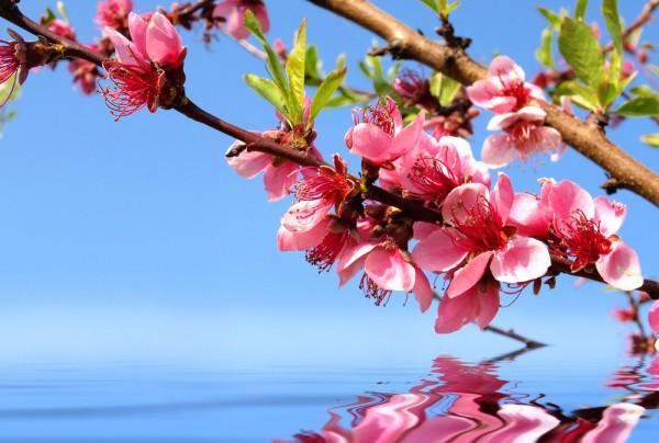 Fototapete Nr. 3804 - Cherry blossom
