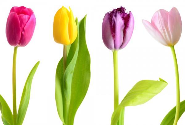 Fototapete Nr. 3417 - Tulpen Singles