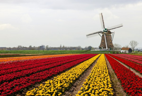 Fototapete Nr. 3418 - Tulpenfeld in Holland