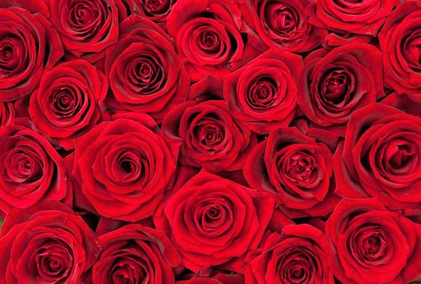 Fototapete Nr. 3655 - Red Roses