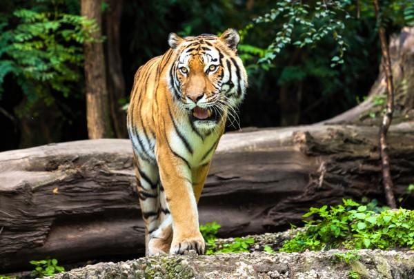 Fototapete Nr. 3326 - Tiger in der Natur