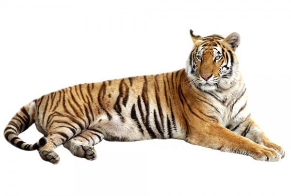 Fototapete Nr. 3323 - Bengal Tiger