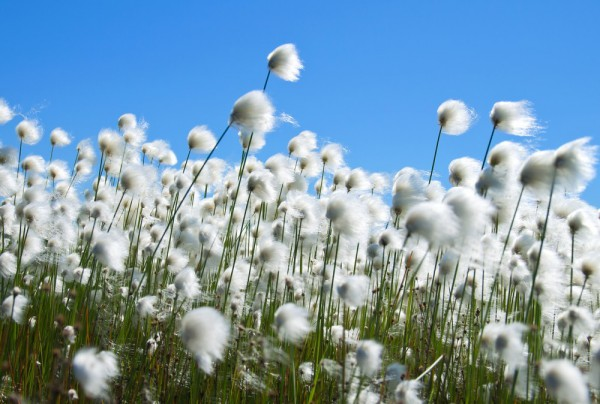 Fototapete Nr. 3862 - Cotton Field