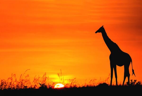 Fototapete Nr. 3381 - African Giraffe