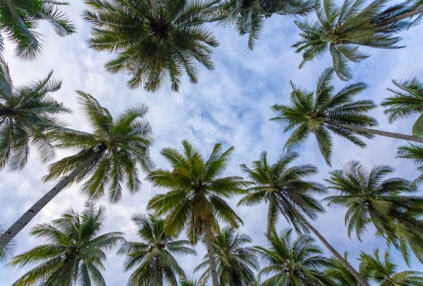 Fototapete Nr. 3208 - Kokospalmenwipfel