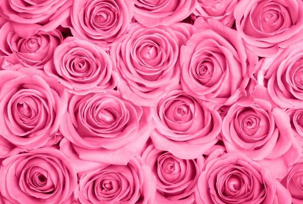 Fototapete Nr. 3658 - Pink Roses