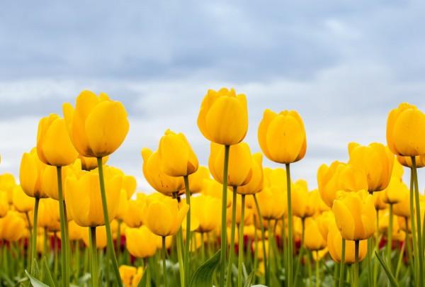 Fototapete Nr. 3420 - Tulpenfeld in gelb