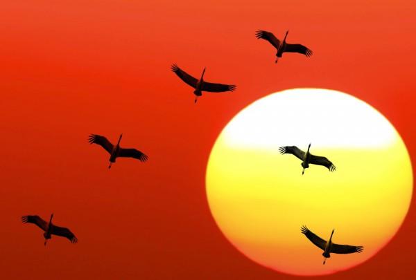 Fototapete Nr. 3682 - Flying cranes