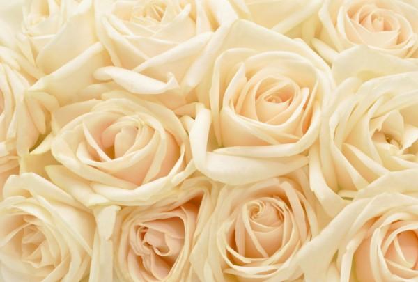 Fototapete Nr. 3656 - Cream Roses