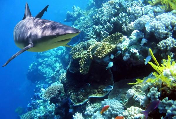 Fototapete Nr. 3643 - Sharky on reef
