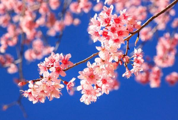 Fototapete Nr. 3808 - Cherry branches