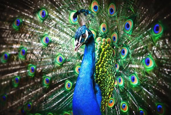 Fototapete Nr. 3693 - Peacock