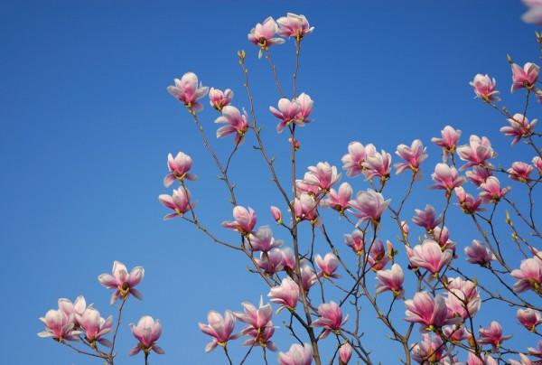 Fototapete Nr. 3806 - Magnolia tree
