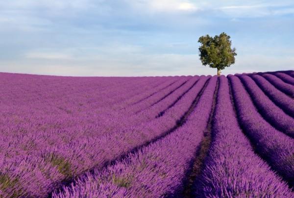 Fototapete Nr. 4290 - Lavendel
