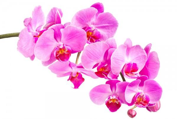 Fototapete Nr. 3303 - Orchidee in pink