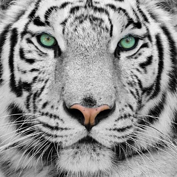 Fototapete Nr. 3146 - Tiger eyes