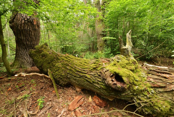 Fototapete Nr. 3460 - Old Oak Tree