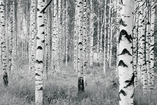 Fototapete Nr. 4400 - Birkenwald