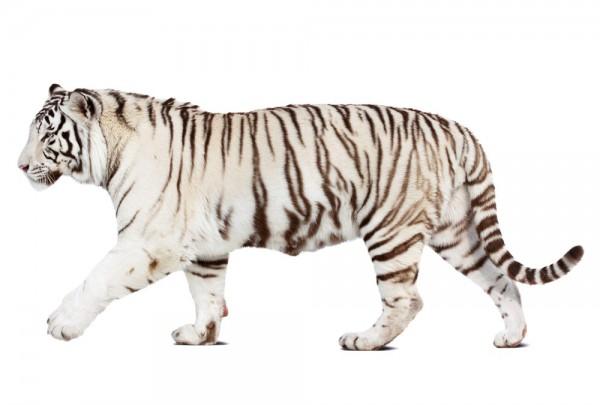 Fototapete Nr. 3324 - Weißer Tiger