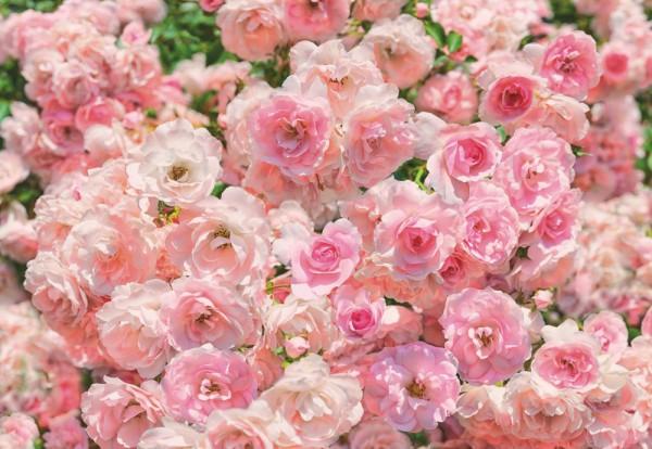 Fototapete Nr. 9475 - Rosa