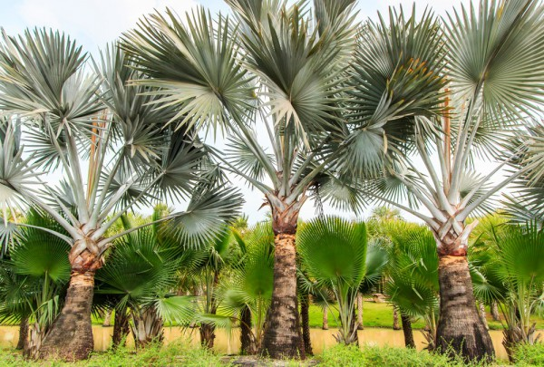 Fototapete Nr. 3211 - Palmenplantage, St. Lucia