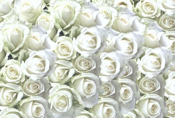 Fototapete Nr. 3659 - White Roses