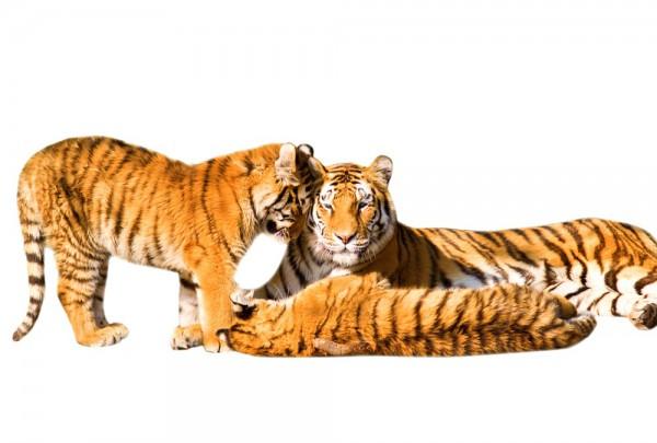 Fototapete Nr. 3325 - Tiger-Familie