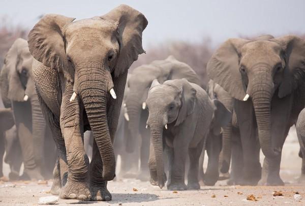 Fototapete Nr. 3006 - Elefantengang