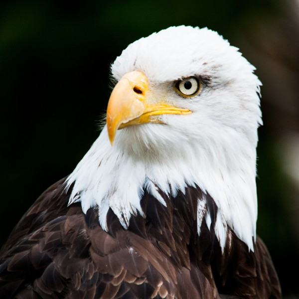 Fototapete Nr. 3152 - Bald eagle
