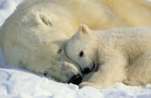 Fototapete Nr. 8535 - Eisbären