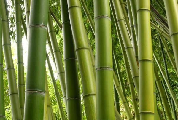 Fototapete Nr. 4511 - Bambuswald