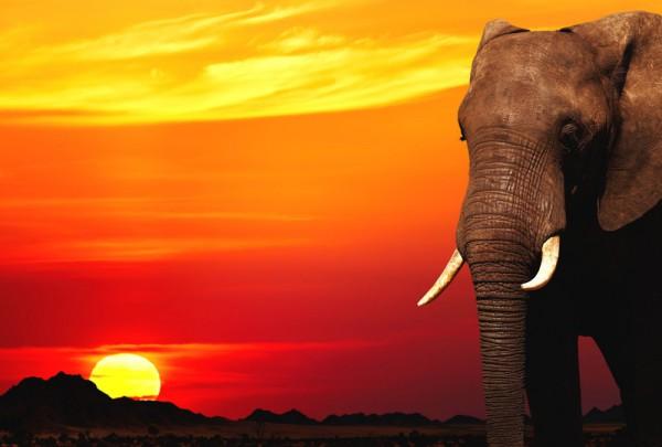 Fototapete Nr. 3377 - African Elephant