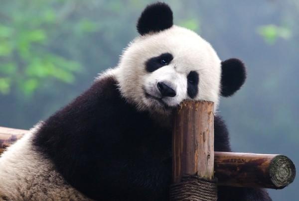 Fototapete Nr. 3858 - Panda