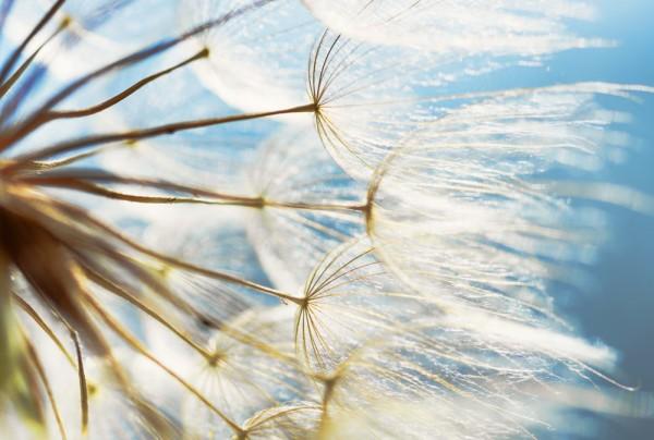 Fototapete Nr. 3511 - Dandelion nature