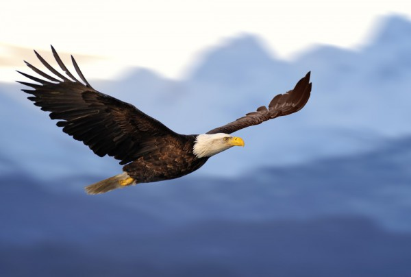 Fototapete Nr. 3860 - American Eagle