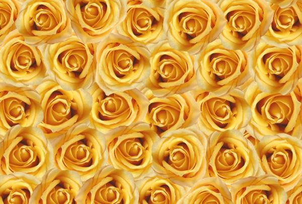 Fototapete Nr. 3657 - Yellow Roses
