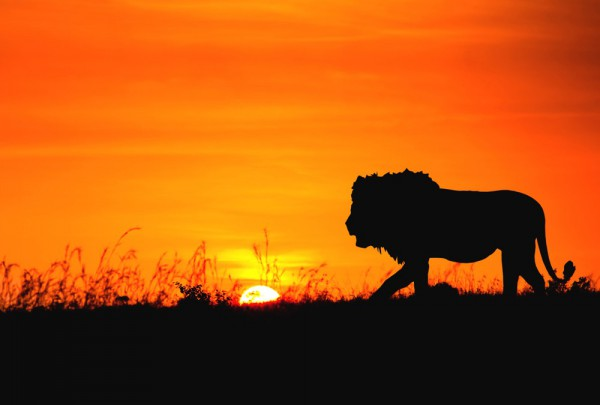 Fototapete Nr. 3379 - African Lion