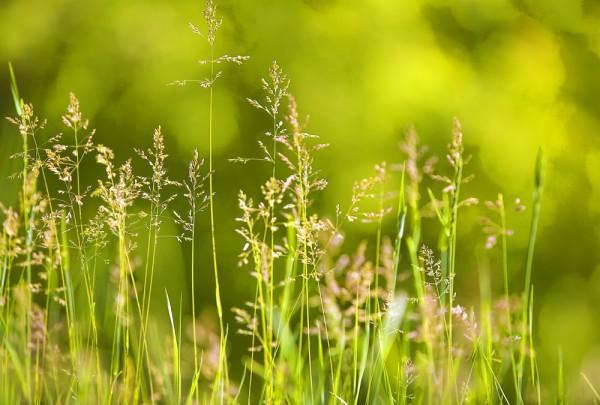 Fototapete Nr. 3772 - Morning grasses