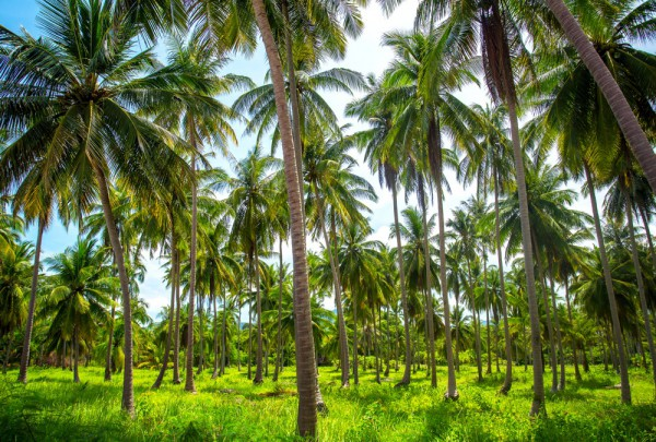 Fototapete Nr. 3209 - Palmenplantage, Thailand