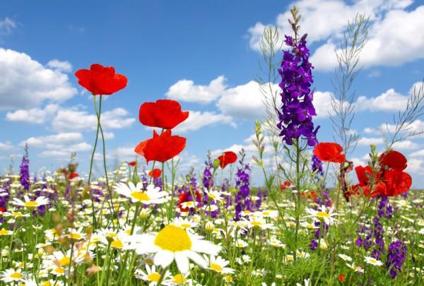 Fototapete Nr. 3452 - Wildblumen