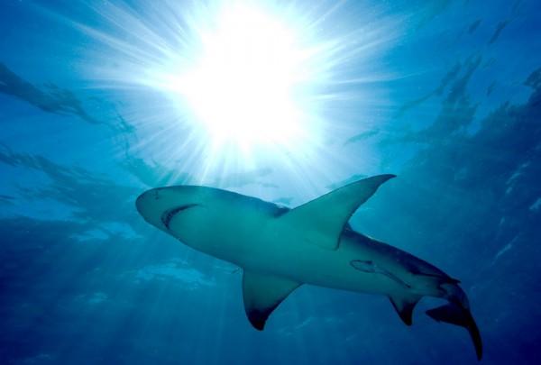 Fototapete Nr. 3640 - Lemon shark