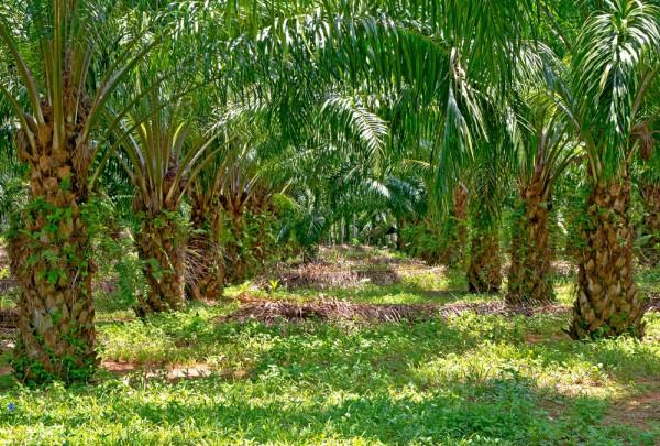Fototapete Nr. 3210 - Palmenplantage, Madagaskar