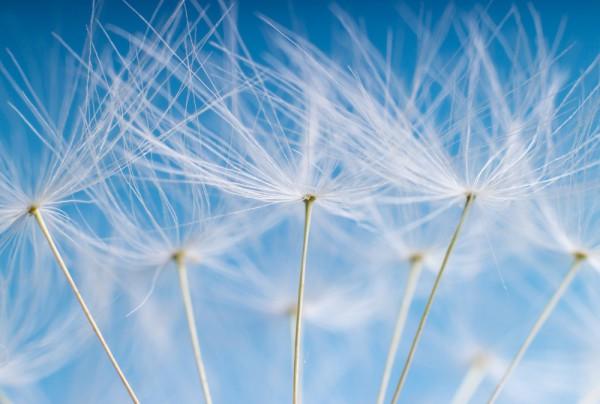 Fototapete Nr. 3514 - Dandelion seeds